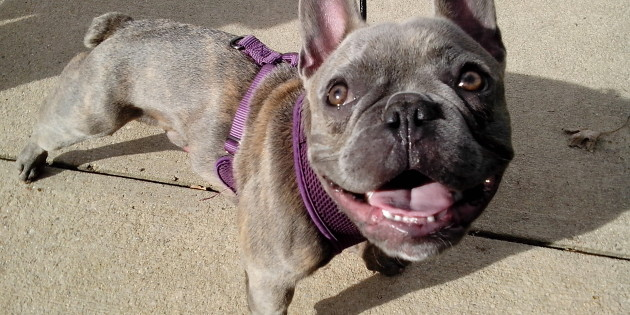 zeus the superhero frenchie epic smiling pic