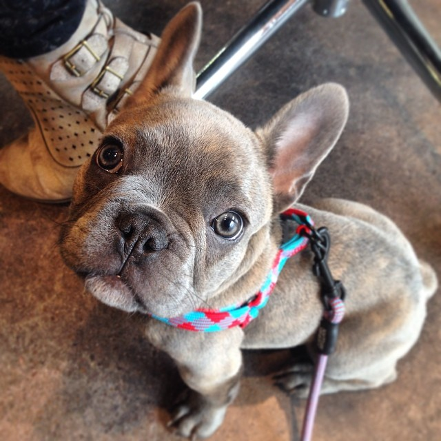 zeus the superhero frenchie jewelry shopping