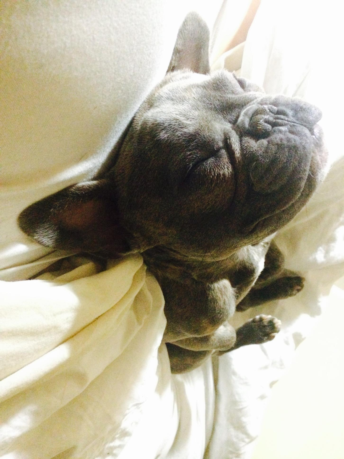 zeus the superhero frenchie sleeping on his back